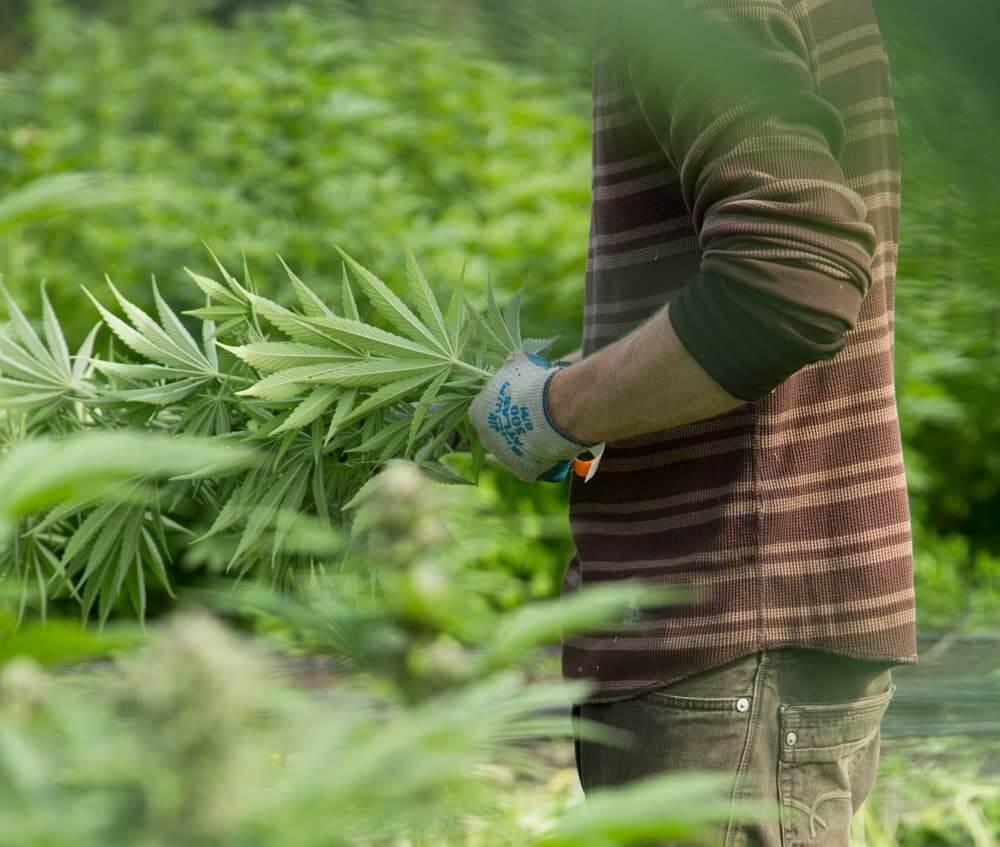 how-to-grow-marijuana