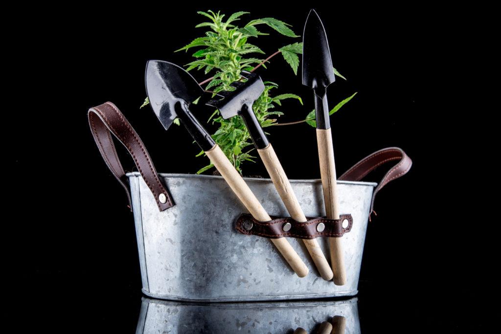 cloning a marijuana plant